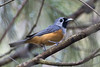 Black Faced Monarch (chrisprohm) Tags: blackfacedmonarch monarch birdsofnsw birds australianbirds backyardbirds