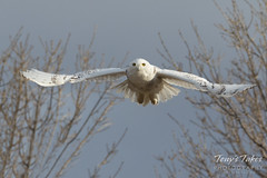 Snow Owl takes flight - sequence - 5 of 9