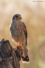 Mattine dorate (Simone Mazzoccoli) Tags: nature naturephoto wild wildlife animals bird light outdoor goldenhour kestrel birdofprey hunter raptor predator