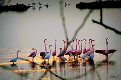 ___ guardando tra i rami ___ (erman_53fotoclik) Tags: erman53fotoclik dmc tz25 panasonik guardando rami cattura scatto fauna uccelli trampolieri fenicotteri rosa acqua valli rosolina veneto riflesso serale imbrunire ali colli flamingos scena