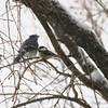 Snowbirds (@harryshuldman) Tags: chickadee bluejay birds snowbirds snow canon 7dmarkii 200mm telefoto telephoto backyardbirds birdsatfeeders bokeh birdsintrees nature flickrnature