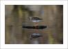 Redshank (Tringa totanus) (prendergasttony) Tags: rspb bird nikon avian outdoors nature flight pov dof wings birdwatching outdoor wild nesting england elements feathers soar wingspan feet white beak motion action water sunlight tonyprendergast january 2018 sea ocean reflection animal sky redshank tringa totanus mud mudflats wood people d7200