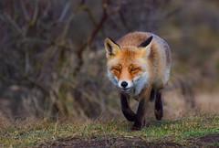fox (vos) (moniquedoon) Tags: fox foxes vos vossen animal predetor woodlands nikon wild wildlife wildlifephotography wildlifephoto wildlifeperfection nature natureisbeautiful bestwildlife perfection winterwatch natuur natuuurfotografie nikkor