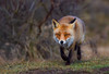 fox (vos) (moniquedoon) Tags: fox foxes vos vossen animal predetor woodlands nikon wild wildlife wildlifephotography wildlifephoto wildlifeperfection nature natureisbeautiful bestwildlife perfection winterwatch natuur natuuurfotografie nikkor