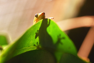 širokorepi danji macaklin (Phelsuma laticauda / Gold Dust Day Gecko / Goldstaub-Taggecko)