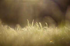 Sometimes you don't need much for an enchanted moment (Nathalie_Désirée) Tags: nature flora grass leaf sunlight morninglight plant sparkling frozen blade meadow lawn garden miniworld macro closeup canoneos600d canon50mm minimalistic tiny little