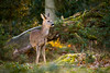 Unicorn (Rob Blight) Tags: deer roe roedeer buck stag wild wildlife animal fauna mammal forest morning dawn morninglight goldenhour young unicorn nikond850 d850 200500 200500mm hirsche reh rotwild bock trees forestscene creature winter chevreuil