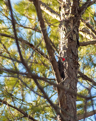 Pileated Woodpecker9 (Dok Johnson) Tags: georgia woodpecker backyards southernpileatedwoodpecker