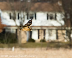 _91R7865-Edit (ursula108) Tags: gettysburg pennsylvania shortearedowl raptor bird wildlife nature