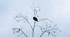 Esperant la primavera. (josepponsibusquet.) Tags: tórtora ocell arbre primavera hivern salt gironès catalunya catalonia cataluña natura naturaleza fred bedoll silueta