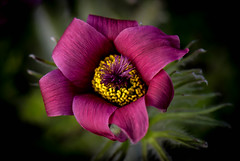 Nature's Ribbon!!) (Good Nature One) Tags: natures ribbon flower macro nature bloom deep pink purple yellow white green