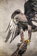 Hawk Watch, Ramona, CA 2.3.18 3 (Marcie Gonzalez) Tags: wildlife research institute hawk watch 2018 ramona ca california southern grasslands bird birds hawks large habitat marcie gonzalez photography photo photograph image usa us north america nature