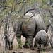 Maman rhino et bébé Afrique du sud _3971