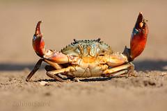 Crab (Zahoor-Salmi) Tags: zahoorsalmi salmi wildlife pakistan wwf nature natural canon birds watch animals bbc flickr google discovery chanals tv lens camera 7d mark 2 beutty photo macro action walpapers bhalwal punjab