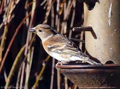 Pinson du Nord (Fringilla montifringilla) (zogt2000 (No Video)) Tags: pinsondunord fringillamontifringilla oiseau bird jardin garden
