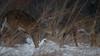 HeadKnockers (jmishefske) Tags: 2018 nikon nature d500 center february milwaukee franklin antler wildlife sparring whitetail rack wisconsin wehr whitnall park buck fighting deer brawl