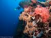 moalboal (chevalbenjamin) Tags: philippines visayas moalboal detroitdetanon dive scubadiving underwater plongéesousmarine photosousmarine seaocean softcoral corail colors