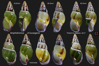 amphidromus cf. lucsegersi  planche indonesie