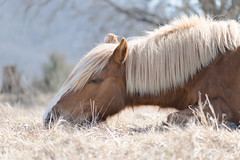 Haflinger dreams... (shannon_blueswf) Tags: pasture ranch graze farmland horse horsefarm pony haflinger palomino meadow winter animal country pet equine equestrian equinephotography petphotography nikon nikond3300 nikonphotography nature dreams flaxen mane horsephotographer
