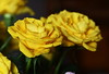 DSC_8849 Yellow Roses (PeaTJay) Tags: nikond750 sigma reading lowerearley berkshire macro micro closeups gardens indoors nature flora fauna plants flowers bouquet rose roses rosebuds