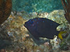 Damselfish (Jwaan) Tags: damselfish blue glowinthedark spots yellow fin black coral bvi britishvirginislands caribbean westindies underwater