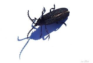 Lycid Beetle ON PURE WHITE.....Smile on Saturday
