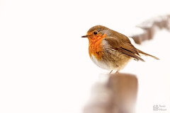 Robin in snow (leavesnbloom photography by Rosie Nixon) Tags: gardenphotography birdphotography bird solo robin scotland uk snow winter white highkey