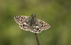 Grizzled Skipper (Pyrgus malvae). (Bob Eade) Tags: grizzledskipper grassland downland southdownsnationalpark seaford sussex eastsussex butterflies butterfly insect skipper lepidoptera nikon sigma spring