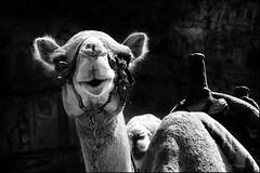 Hola amigos (bit ramone) Tags: hello hola friend amigo camel camello jordania bw pentax pentaxk5 bitramone travel viajes
