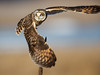 Short Eared Owl - Lift Off (Jerry_a) Tags: birds owl short eared raptor birdsofprey canon1dxmarkii canon600mmf4isusmii