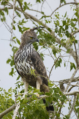Changeable Hawk Eagle - Yala National Park - Sri Lanka