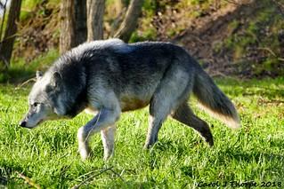 Northwestern Wolf Prowl