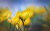 Spring Crocus, Snowdrops series - 14 (Dhina A) Tags: sony a7rii ilce7rm2 a7r2 kodak ektanar c 102mm f28 projection projector lens kodakektanar102mmf28 vintage bokeh smooth soft bubble spring crocus snowdrops