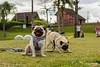 Ragner and Horus (bahvicente) Tags: pug dog petphotography fotografiapet