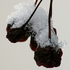 Macro snow 1 (Jay Murdock) Tags: snow flakes berries tree yard canonfd200mmf4macro