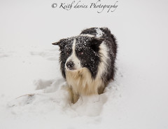 Sonny (KeithDavies777) Tags: pets bordercollies dogs doggie