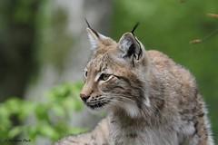 Lynx (Passion Animaux & Photos) Tags: lynx parc animalier saintecroix france
