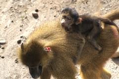 Giving a lift (Tony Shertila) Tags: cantley england gbr geo:lat=5349608853 geo:lon=105019181 geotagged unitedkingdom baboon ape mammal animal fur