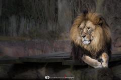 Predator ... (mr.wohl) Tags: löwe lion predator raubtier fleischfresser zoo wildlife gefahr gefährlich danger dangerous pascha herrscher
