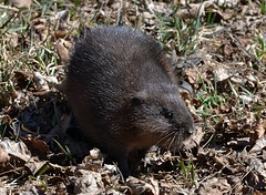 The Muskrat Rescue (DaPuglet) Tags: muskrat muskrats rodent animal animals nature wildlife rescue mammal fur alittlebeauty coth coth5