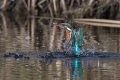 Eisvogel (Alcedo atthis) (Explored) (Silu Junior) Tags: kingfisher eisvogel nature natur vogel bird wildlife nikon sigma animal tier