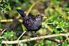 Spotty (Mike Slade.) Tags: commonblackbird turdusmerula bird male stovercountrypark newtonabbot devon ©mikeslade