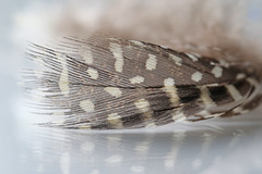 Speckled Feather (Arkle1) Tags: feather macromondays speckled