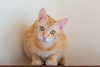 My sweet kitten (Sharleen Chao) Tags: feline indoor domesticcat tabbycat 橘貓 家貓 orange kitten 子猫 猫 オーレンジ taiwan taipei