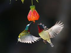 Fork-tailed Sunbird _ Dongguan (mahi mahi 163) Tags: sunbird 600mm china