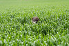 (Stavgertz) Tags: stav gertz 2018 mimi dog amit wheat green