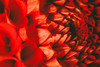 Orgy in red (Herr Nergal) Tags: hx400v sony dsc macro makro raynox150 dahlia red rot close up flower blossom deep inside tief blume blüte dahlie saarland bokeh color 7dwf