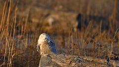 DSC_9740_edit (Hanzy2012) Tags: toronto ontario canada lesliestreetspit tommythompsonpark d500 afsnikkor500mmf4difedii bird wildlife snowyowl buboscandiacus nature wild