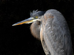 Great Blue Heron (KoolPix) Tags: greatblueheron heron bird beak feathers koolpix jaykoolpix naturephotography nature wildlife wildlifephotos naturephotos naturephotographer animalphotographer wcswebsite nationalgeographic fantasticnature amazingnature wonderfulbirdphotos animal amazingwildlifephotos fantasticnaturephotos incrediblenature wildlifephotography wildlifephotographer mothernature
