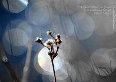 Conversion (Ramunė Vakarė) Tags: haiku bokeh flower plant winter poetry lithuania eičiai ramunėvakarė image text haiga